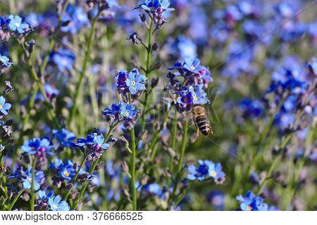 Biene Im Anflug Auf Eine Blüte Auf Einer Blumenwiese