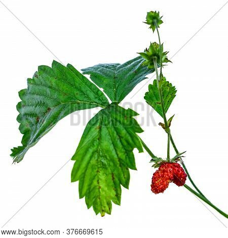 Wild Strawberry Stem With Green Leaf And Red Heart Shaped Fruit, Closeup, Isolated On White Backgrou