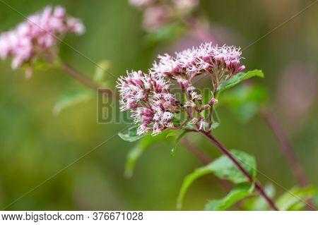 Boneset Flowers Closeup Background. Medical Herbs Series.