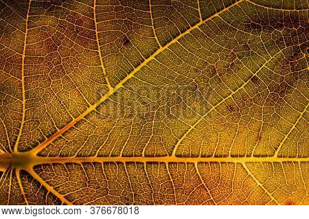 Close-up Of Backlit Golden Leaf. Detail Of Veins. Abstract Macro Nature Photography
