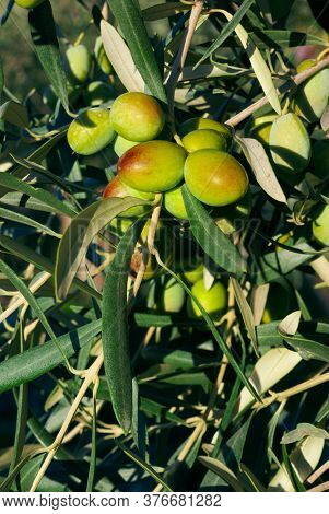 eaves and fruits of green olive trees, a traditional agricultural culture of Sicily countryside