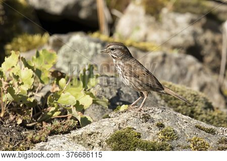 A Song Sparrow Is Perched On A Rock In North Idaho.