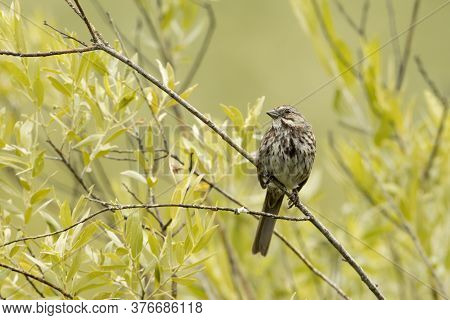 A Cute Song Sparrow Is Perched On A Small Branch In North Idaho.