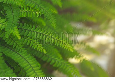 Abstract Emerald Background. Fern Leaves Close-up. Green Fronds In Sunlight. Natural Floral Frame. O
