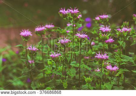 Monarda Flowers, Wild Bergamot, Close-up. Purple Bright Garden Flowers On A Background Of Green Leav