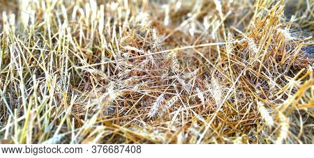 Stubble Stalks Of Cereal Plants, Crops After Harvesting. Stalks And Cake Of Ripe Wheat. Separate Spi