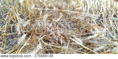 Stubble Stalks Of Cereal Plants After Harvesting. Stalks And Cake Of Ripe Wheat. Separate Spikelets