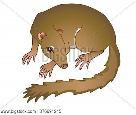 Treeshrew. Tupaia - Small Asian Animal - Vector Full Color Illustration. Small Tree Shrews Is A Prim