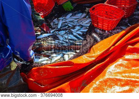 Catch Of Ocean Sardine . Fishermen Sort The Catch . Freshly Caught Fish