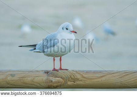 Little Gull Larus Minutus Perched On Wood Close Up View