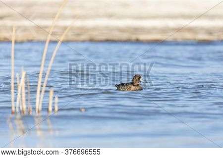 Greater Scaup Paddling In A Pool Of Water At A Nature Study Area Wetland