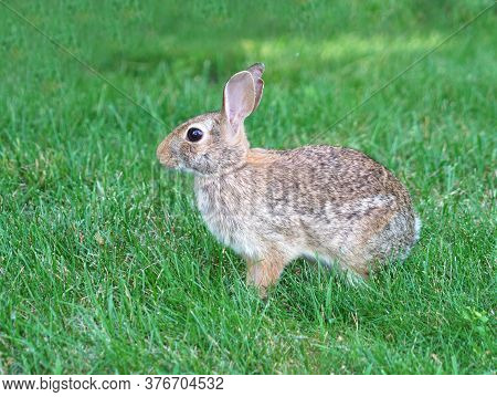 Close Up On Wild Rabbit On The Lawn