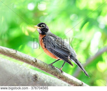 American Robin Bird Standing On Tree Branch