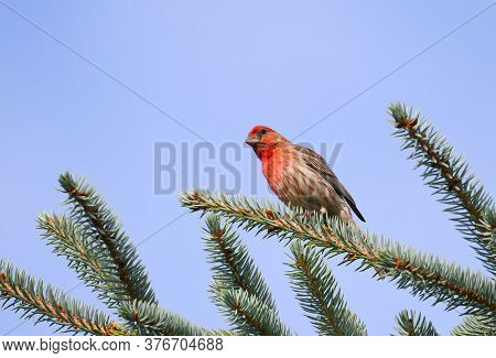 Red House Finch Standing On Pine Tree Branch