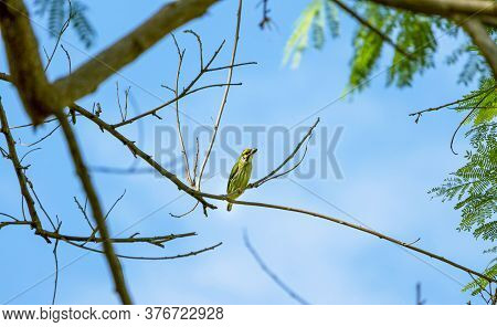 Little Bird On Tree Branch With Blue Sky,coppersmith Barbet