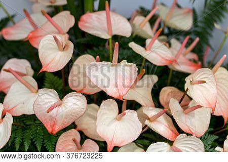 Beautiful Bouquet From Fresh Anthurium Tropical Flowers