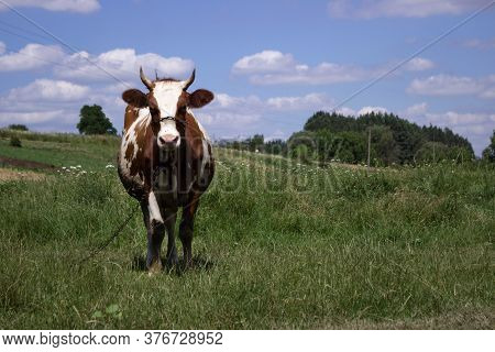 White Brown Cow Posing In Front Of The Camera In Clear Weather Summer Sunny Day, Sky With Clouds