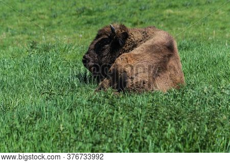 Bison In Glacial Wild Reserve In The Neander Valley In A Green Meadow