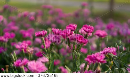 Field Of Beautiful Pink Petals Of Carnation Flower Blossom On Green Leaves In A Park, Blurred Backgr