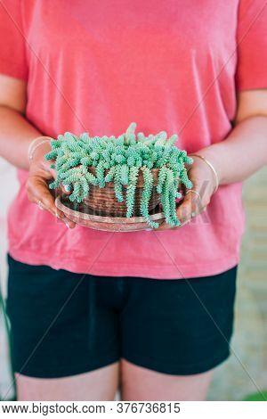 Closeup Woman Hands Holding Pot With Beautiful Sedum Succulent Plant.