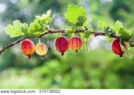 Gooseberry. Fresh Organic Berries Of The Gooseberries Grow On The Branch