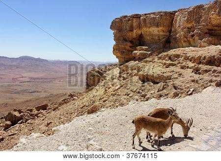 Pair Of Mountain Goats