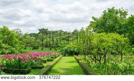 Topiary English Garden Style, Pink Siam Tulip Or Summer Tulips  Flowering Plant Blooming In A Green