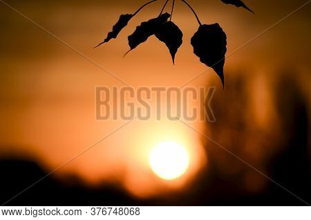 Silhouettes Of Poplar Leaves On Blurred Sunset Background