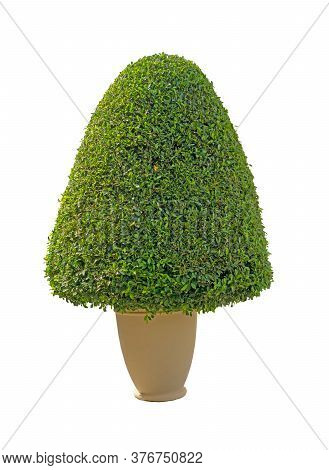 Greenery Ficus Shrub Plant In Flower Pot Isolated On White Background , Green Leaves Bush Di Cut Wit