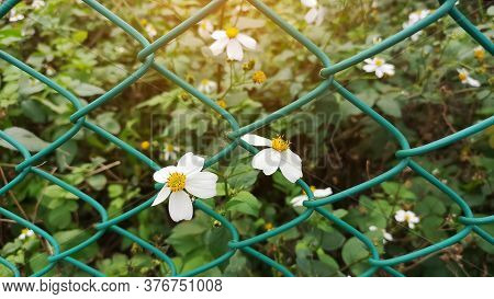 Tiny Flower Blosoom Under Sunlight, Pure White Petals And Yellow Pistil Blomming On Green Leaves Pla