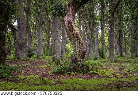A Beautiful Landscape View Of An Old Oak Tree Forest. Picture From Scania In Southern Sweden.