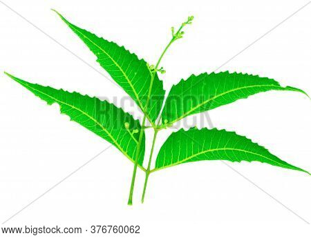 Neem Green Leaves And Flowers On White Background, Neem Leaf For Ayurveda,