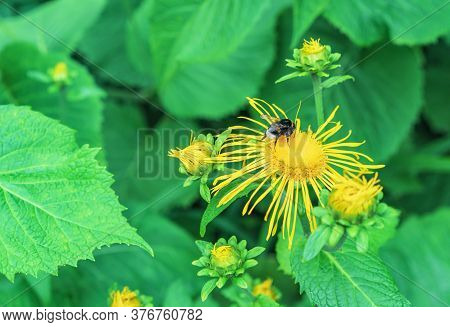 Bee Collects Pollen From The Yellow Flower Of The Inola Hirta Or Elecampane.