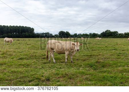 White Cow In The Field, Cow Raised For Fattening, Bovine Originating In France, Rustic Cattle Breed