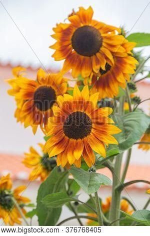 Beautiful Decorative Sunflowers In Garden