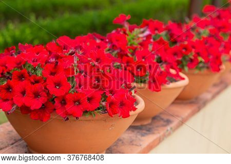 Red Flowers In A Pot In The Park