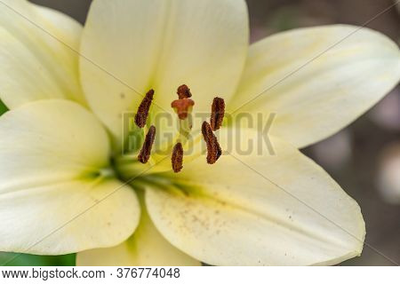 Beautiful White Lily Flower Close-up, Background. The Focus Of The Stamens