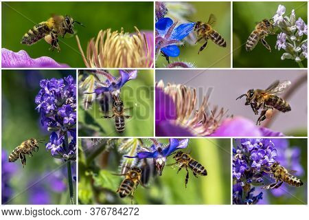 Macro Of Honey Bee Collecting Pollen And Suck Nectar On A Flower - Collage Set.