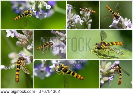 A Marmalade Hoverfly (episyrphus Balteatus) Sits On A Flower And Sucks Nectar - Collage Set.
