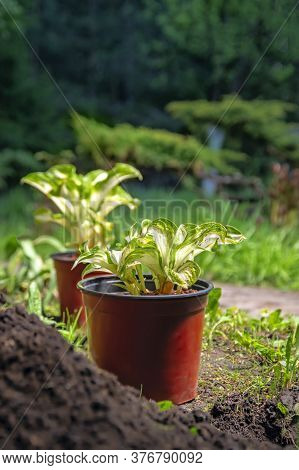Potted Plants In The Park. Young Hosta Seedlings Prepared For Transplanting In The Garden. Gardening