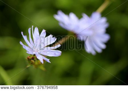 Blue Chicory Flower On A Meadow, Healing Plant. Blooming Chicory In Summer