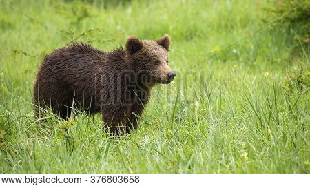 Juvenile Brown Bear Standing In Meadow During Summer.