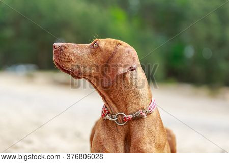 Portrait Of A Young Magyar Viszla Dog