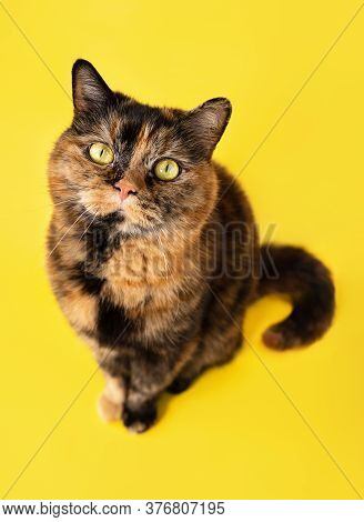Funny Tortoiseshell Cat Looking Upwards And Waiting For Food Or Treatment. Happy Cute Pet Portrait,