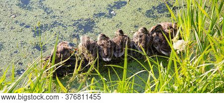 Panorama Of The Young Campers Sitting Ducks, Bask In The Sun, On A Background Of Green Pond. Selecti