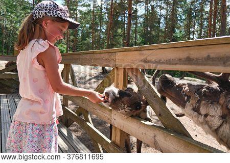 Espoo, Finland - June 27, 2020: Reindeer In Nuuksio Reindeer Park. The Girl Feeding A Reindeer In Th