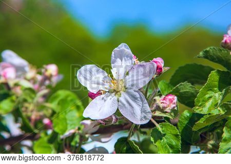 An Apple Blossom In The Blue Sky.  Leaves And Buds In Bloom And Clarity
