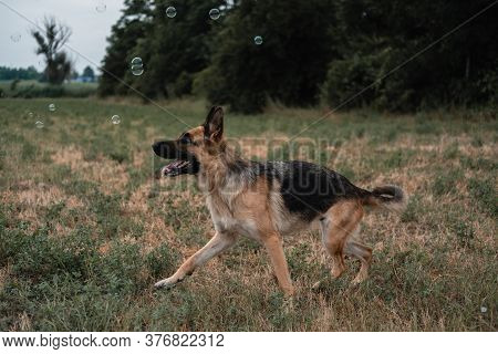 A German Shepherd Plays With Soap Bubbles. The Dog Catches Soap Bubbles With Its Mouth, Games With T