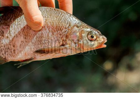 Fish Caught On Fishing. Cooking On A Campfire In Nature. Rest From The City Bustle In A Campsite