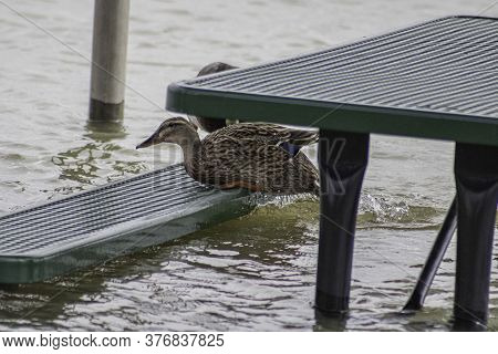 Female Mallard Jumping Onto A Flooded Park Bench. Green Table Bench In Marina That Has Been Partiall
